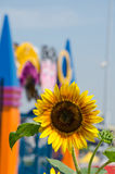 Bright Yellow Sunflower and Colorful Building in Background Royalty Free Stock Image