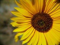 Yellow Sunflower closeup. Bright Yellow sunflower in daylight royalty free stock image
