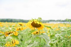 A droopy sunflower. This bright yellow sunflower is feeling the August heat and drooping among its fellow plants royalty free stock photography