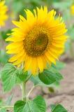 Bright yellow sunflower Stock Image