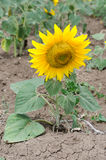 Bright yellow sunflower Royalty Free Stock Image