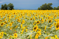 Bright yellow sunflower field on a dark blue sky background Royalty Free Stock Images