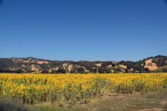 California Sunflowers. Bright yellow sunflower field at a vineyard against hills in Northern California's wine country Royalty Free Stock Images