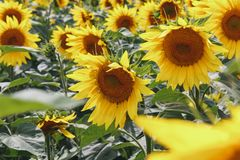 Bright yellow sunflower flower field. Beautiful rural landscape in sunny summer day. Royalty Free Stock Images