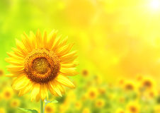 Bright yellow sunflower on green background Stock Photography