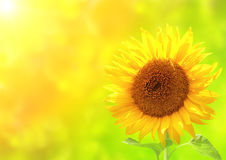 Bright yellow sunflower on green background Stock Photos