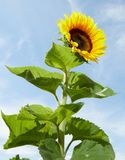 Bright yellow sunflower and green leaves. Bright yellow sunflower, Helianthus annuus, and green leaves in the sunlight outdoors against a blue sky cultivated for Stock Images