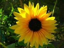 Bright yellow sunflower, greenery background. A bright yellow sunflower in front of greenery stock image