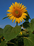 Bright yellow sunflower with a huge green leaves on a background of blue sky, sunny day, summer. Stock Photo