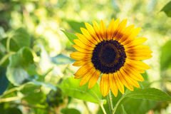 Bright yellow sunflower Stock Images