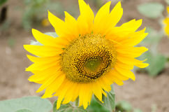Bright yellow sunflower in the sunflower field Stock Photos