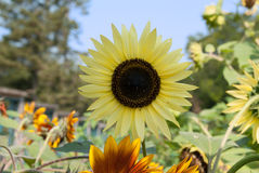 Bright Yellow Sunflower in a Sunny Summer Day. Stock Photo