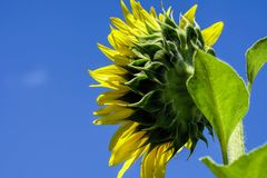 Bright yellow sunflower view from the back Royalty Free Stock Photography