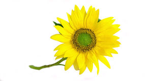 Bright yellow sunflower on white Royalty Free Stock Photography