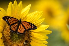 Free Bright Yellow Sunflower With Monarch Butterfly And Bumblebee  On A Sunny Summer Morning Royalty Free Stock Images - 158747099