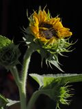 A bright yellow sunflower with yellow petals and a black middle on a tall powerful green stem with leaves. Bright yellow sunflower with yellow petals and a Stock Images