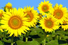 Bright yellow sunflowers Royalty Free Stock Image
