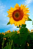 Bright yellow sunflowers Royalty Free Stock Photography