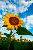 Bright yellow sunflowers Royalty Free Stock Photos
