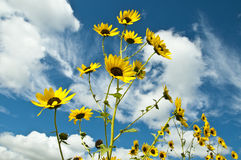 Bright Yellow Sunflowers against white cloud filled deep blue sky Royalty Free Stock Photo