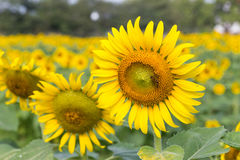 Bright yellow sunflowers and bee Stock Images