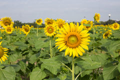 Bright yellow sunflowers and bee Royalty Free Stock Photography