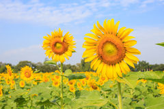 Bright yellow sunflowers and bee Royalty Free Stock Images