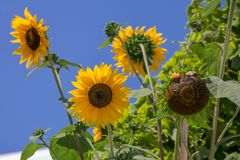 Bright yellow sunflowers and blue sky stock photos