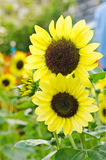 Bright yellow sunflowers Stock Photography