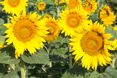 Bright yellow sunflowers growing in a field Stock Photos