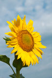 Bright yellow sunflowers mature Royalty Free Stock Photos