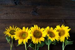 Bright yellow sunflowers on natural rustic texture wooden board. royalty free stock images