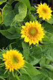 Bright yellow sunflowers in the nature Royalty Free Stock Photo