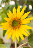 Bright yellow sunflowers Stock Photography