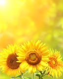 Bright yellow sunflowers Stock Image