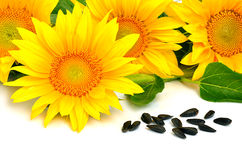 Bright yellow sunflowers and sunflower seeds Royalty Free Stock Photography