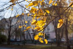 Bright yellow sunlit autumn leaves fluttering in wind foreground on urban landscape background. Royalty Free Stock Photos