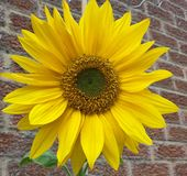 Bright yellow sunny very large sunflower head royalty free stock photo
