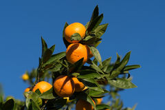 Bright yellow tangerines on a branch. Tangerines on a long branch against a blue sky Royalty Free Stock Photography
