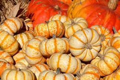 Bright yellow Thanksgiving Pumpkins royalty free stock photos