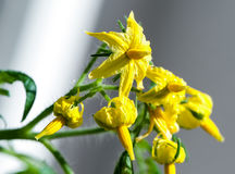 Bright yellow tomato flowers close-up Royalty Free Stock Image