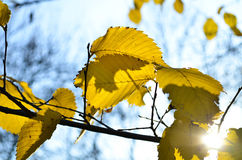 Bright yellow tree against blue sky. Branches with golden autumn leaves in park Stock Photography