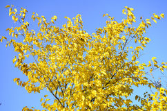 Bright yellow tree against blue sky. Branches with golden autumn leaves in park Royalty Free Stock Photography