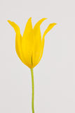 Bright yellow tulip Stock Images