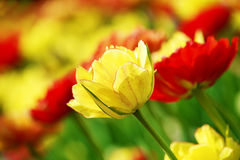 Bright yellow tulip close-up Stock Photo