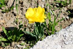 Bright yellow tulip with dark green elongated pointy leaves planted in local garden next to concrete steps. On warm sunny spring day stock photography