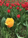 Bright yellow tulip stands out royalty free stock images