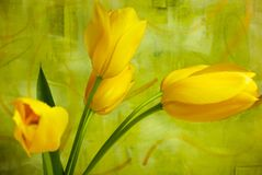 Bright yellow tulips against  a brightly painted abstract wall. Four bright yellow tulips against a lively bright green and gold painted background Stock Photos
