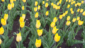Bright yellow tulips Stock Photo