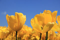 Bright yellow tulips growing in a field Stock Image